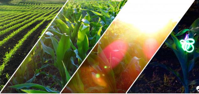 A kukorica élete