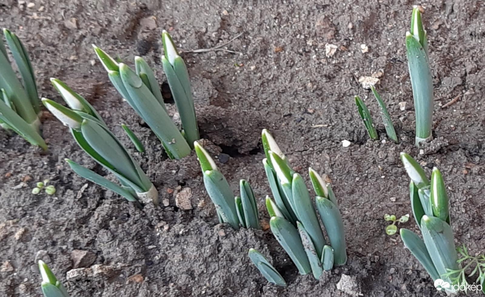 Tavaszt éreznek a hóvirágok