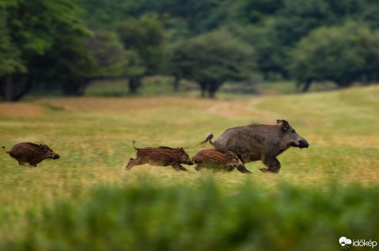 Vigyázzunk a vadmalacokra! – kérik a vadászok